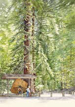 """Henry Cowell Redwoods"", a watercolor painting by Carol Riddle"